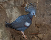 Victoria Crowned-Pigeon — Stock Photo