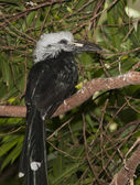 West African Long-tailed Hornbill, Tropicranus albocristatus — Stock Photo