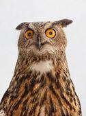 Eurasian Eagle Owl — ストック写真