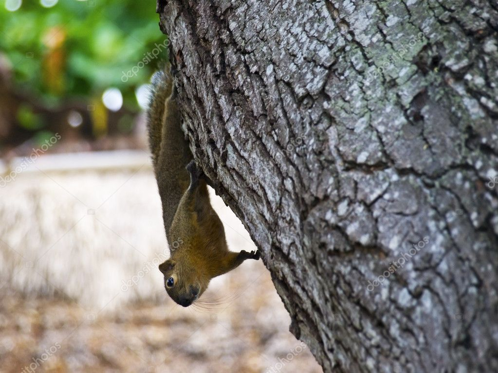 Funny squirrel hanging upside down on the tree  Foto Stock #11541984