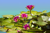 Pink waterlilies in pond .Flowers image background — Stock Photo