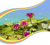 Pink waterlilies in pond .Flowers background for text — Stock Photo