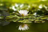 White waterlily in nature pond. — Stock Photo