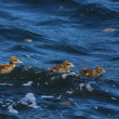 Duckling family — Stock Photo #11479621
