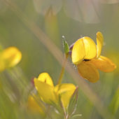 Bird's-foot Trefoil — Stock Photo