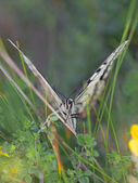 Swallowtail butterfly — Stock Photo