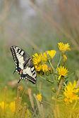 Swallowtail butterfly — 图库照片
