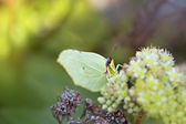 Common Brimstone — Stock Photo