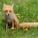 Fox and dandelions — Stock Photo #11880866