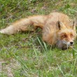 Stock Photo: Fox hid