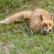 Fox hid — Stock Photo #11880891