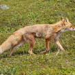 Stock Photo: Fox in tundra