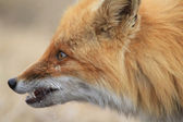 Portrait irritation fox — Stock Photo