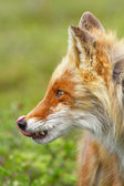 Portrait of a fox licked — Stock Photo