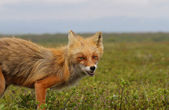 Irritation fox — Stock Photo