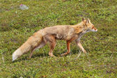 Fox in der tundra — Stockfoto