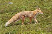 Liška v tundře — Stock fotografie