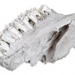 The jaw of an ancient herbivore — Stock Photo