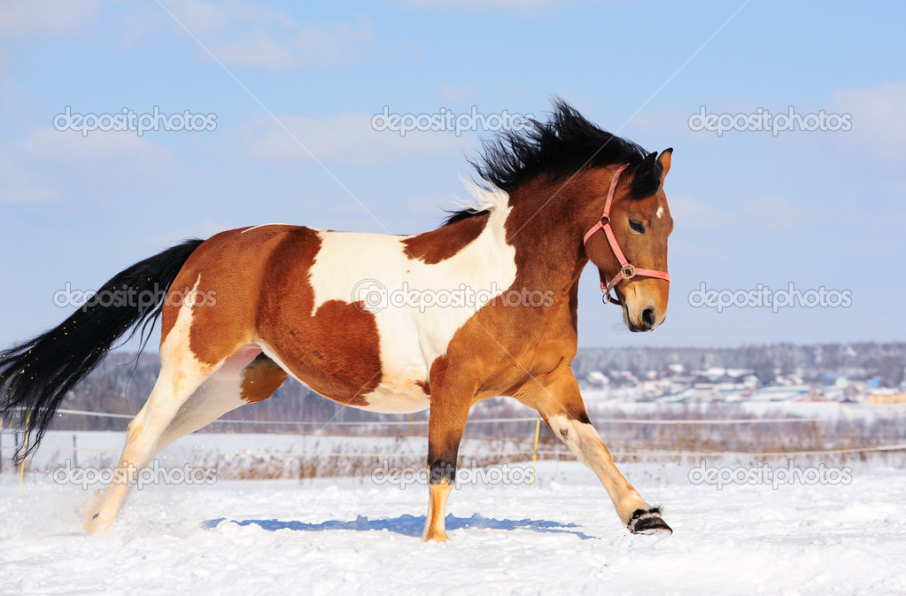 Pinto Horse Pictures Pinto Horse Running in Winter