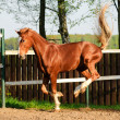 Stock Photo: Horse playing in paddock