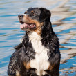 Appenzeller dog in water — Stock Photo #11680331