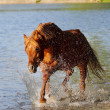 Arab stallion in water - Stockfoto