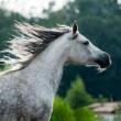 Arabian horse — Stock Photo