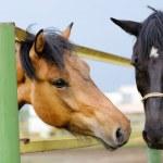 Horses — Stock Photo #11680566