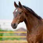 Bay horse — Stock Photo #11680587