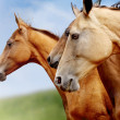Purebred horses closeup — Stock Photo #11680700