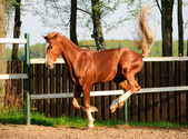Horse playing in paddock — Stock Photo