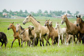 Manada de caballos — Foto de Stock