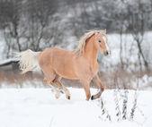 Palomino pony — Stock Photo