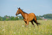 Purebred horse in field — Stock Photo