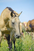Beautiful horse in herd — Stockfoto