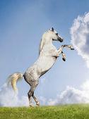 Arabian stallion rears — Stock Photo
