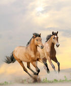 Horses in dust — Foto Stock