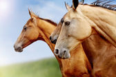 Purebred horses closeup — Stock Photo