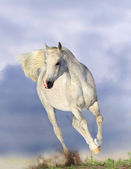 White arabian horse — Stock Photo