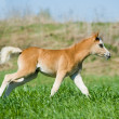 Stock Photo: Foal runs