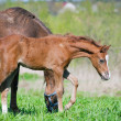 Stock Photo: Curious foal