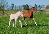 2 つの子馬 — ストック写真
