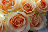Roses peach avalanche — Stock Photo