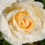 Cream rose after rain close up — Stock Photo