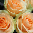 Stock Photo: Roses peach avalanche
