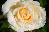 Cream rose after rain close up — Stock Photo
