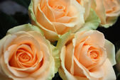 Roses peach avalanche — Stock Photo
