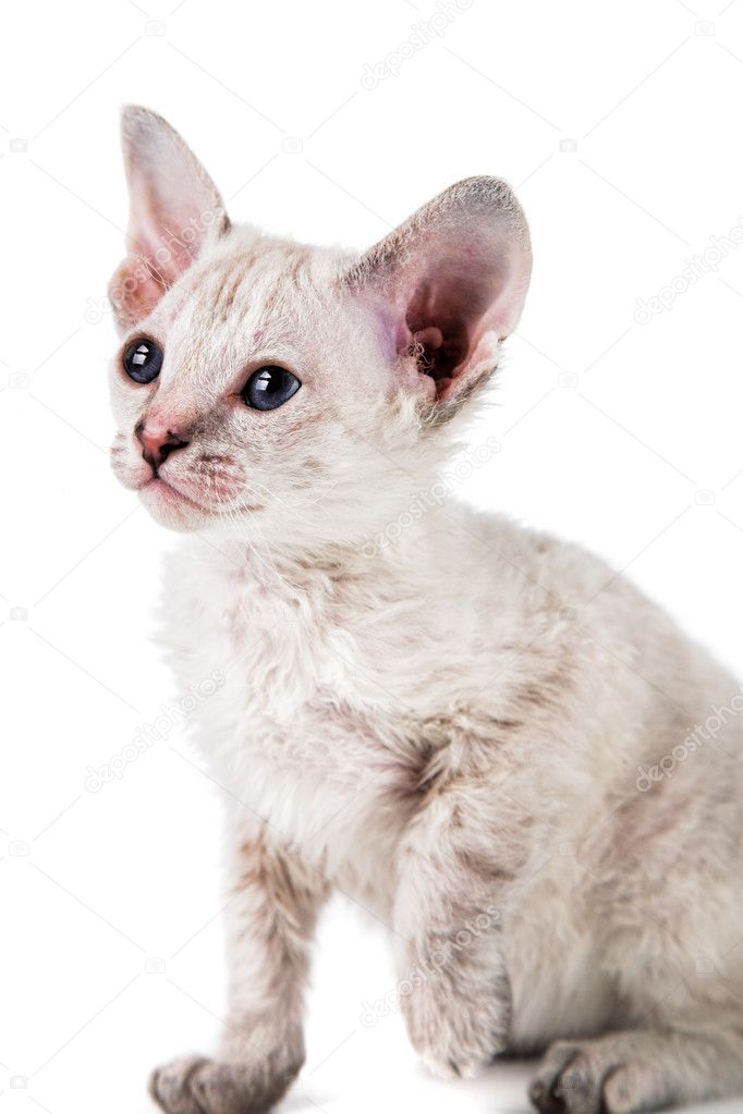 Cute oriental kitten isolated on white background  Stock Photo #10818585