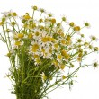 Medical chamomile — Stock Photo #10762497