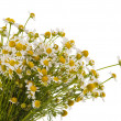 Medical chamomile — Foto de Stock